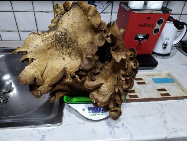 Scillato: trovato un grande fungo di ferla dal peso di oltre due chilogrammi